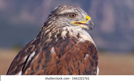 red tailed hawk close up photo