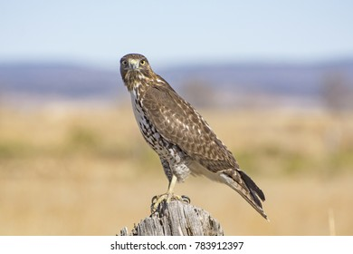 Red Tailed Hawk Closeup Portrait
