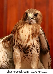 """Red Tailed Hawk. A common raptor identified by their red tail and """"belly band"""" of dark feathers across the lower portion of their chest."""