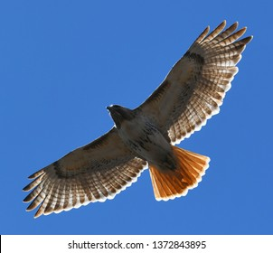 red tailed hawk flying in the blue sky