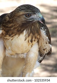 Red Tailed Hawk gulping down the remains of a rabbit