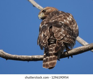 Red Tailed Hawk Juvenile Perching