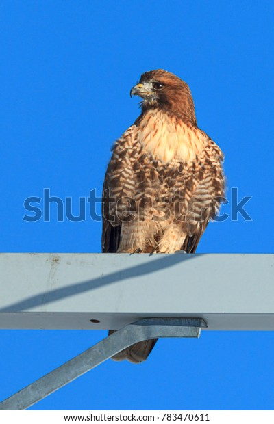 Red tailed hawk perched up high on the Rathdrum Prairie in north Idaho.
