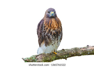 red tailed hawk perched on oak tree limb, isolated on white