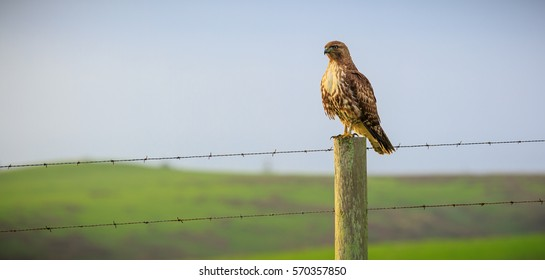 Red tailed hawk in Point Reyes, California