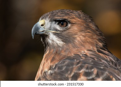 Red Tailed Hawk Portrait/Red Tailed Hawk Profile/ Red Tailed Hawk looking left