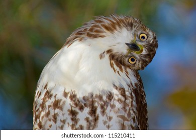 Red Tailed Hawk Portrait/You're Making My Head Spin