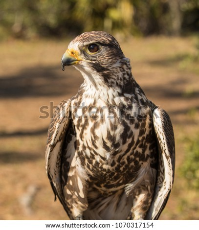 Red Tailed Hawk Poses Side Profile Stock Photo Edit Now 1070317154