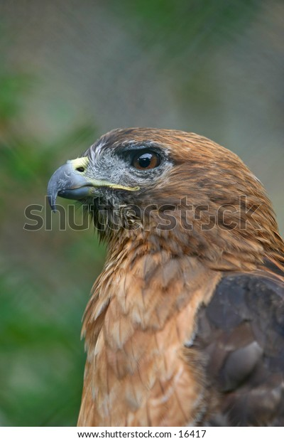 Red Tailed Hawk - Profile