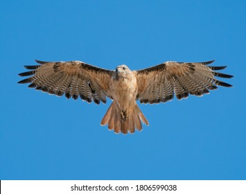 Red Tailed Hawk soaring overhead