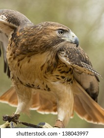 A red tailed hawk spreads his wings ready to fly.