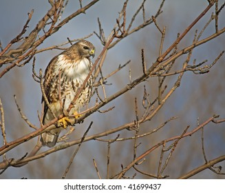 Red Tailed Hawk in Tree