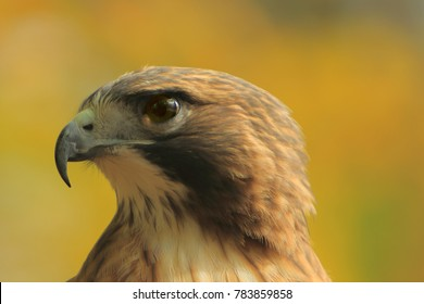 red tailed hawk/hawk close up/hawk profile