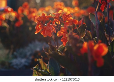 red tall flowers in warm summer sunshine rays canna