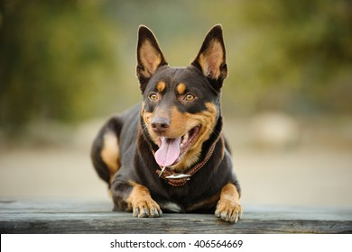 Red and tan Australian Kelpie lying with natural background