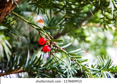 Red taxus baccata berries during ripening on branches of conifer. Relict tree