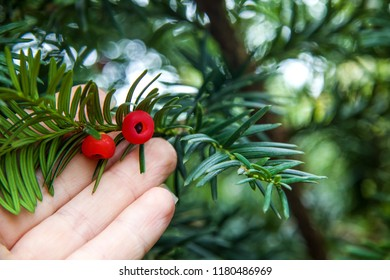 Red taxus baccata berries in the hand during ripening on branches of conifer. Relict tree