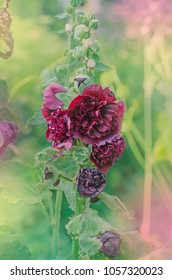 Red terry hollyhock blossoms. Terry mallow in garden. Terry red mallow growing.