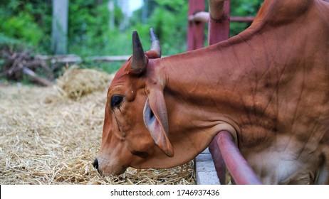 Red thai gyr brahman cattle eating hay or straw on corral