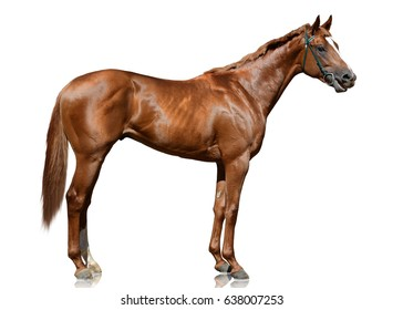The red thoroughbred race horse standing isolated on white background. side view