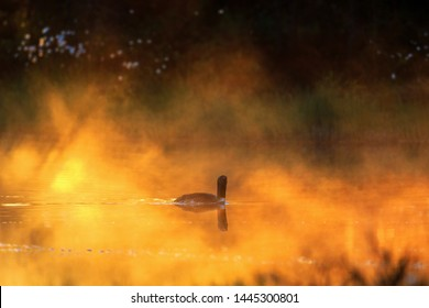 Red throated loon in morning light at a pond