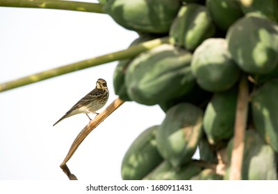 Red throated pipit on a papaya tree at Buri farm, Bahrain