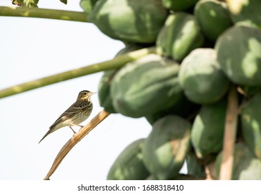 Red throated pipit perched on papaya tree at Buri farm, Bahrain