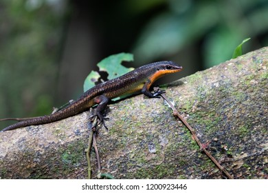 Red throated skink on tree root in tropical rainforest jungle in Sepilok, Borneo.