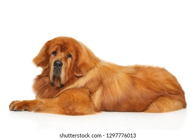 Red Tibetan Mastiff dog lying in front of white background.