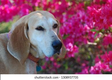 Red Tick Coonhound with magenta azaleas in background.