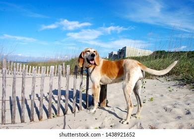 Red Tick Coonhound next to dune fence at beach.
