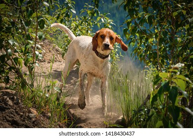 A red tick coonhound running down a trail in the woods.
