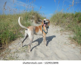 Red Tick Coonhound stands on a dune with sea oats and blue sky in background.