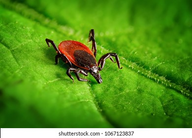 Red tick scrabbling on a green leaf, sharp closeup