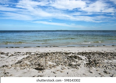 Red Tide: Beach covered with dead fish killed by the toxic bloom of red algae in Tampa Bay Florida.