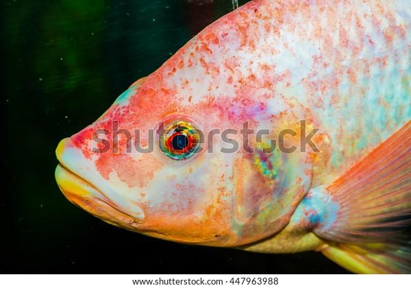 Red tilapia fish, Thailand