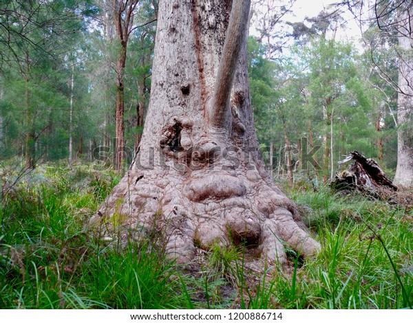 Red Tingle Giant Denmark Western Australia
