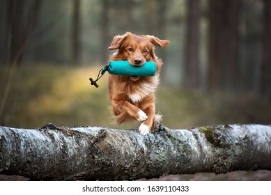 red toller retriever dog jumping over a tree with a hunting dummy in mouth, hunting dog training