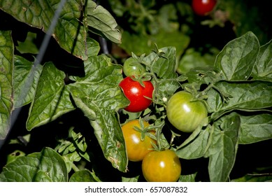 Red Tomato on vine with green leaves