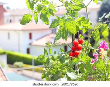 red tomato plant in the terrace of house