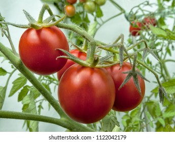 Red tomatoes branch growing in a garden.