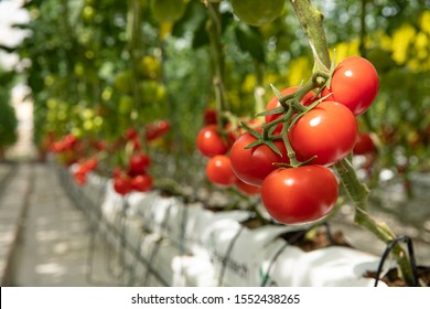 Red tomatoes in the greenhouse