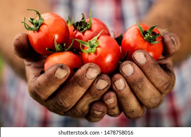 Red tomatoes held in man's soiled hands.