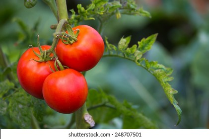 Red tomatoes on the branch with blurred green background
