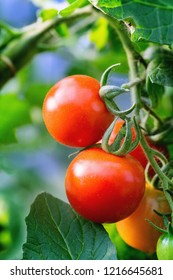 Red tomatoes on a branch. Close up.