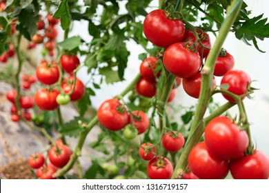 Red tomatoes on branch at organic farm. Healthy ripe vegatables in greenhouse close up. Planting, growing and harvesting tomatoes.