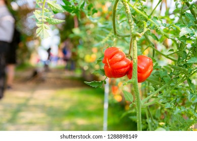Red tomatoes, organic vegetable planting