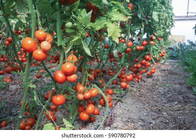 Red tomatoes in plastic hothouse