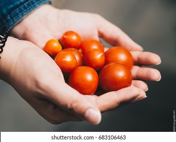 Red Tomatoes in Womens Hands