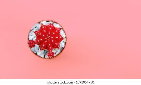 Red top gymnocalycium moon cactus on pink background. Top view